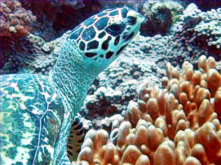 Hawksbill Turtle at White Sands