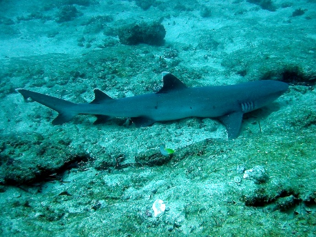 Whit Dip Reef Shark relaxing on the ground